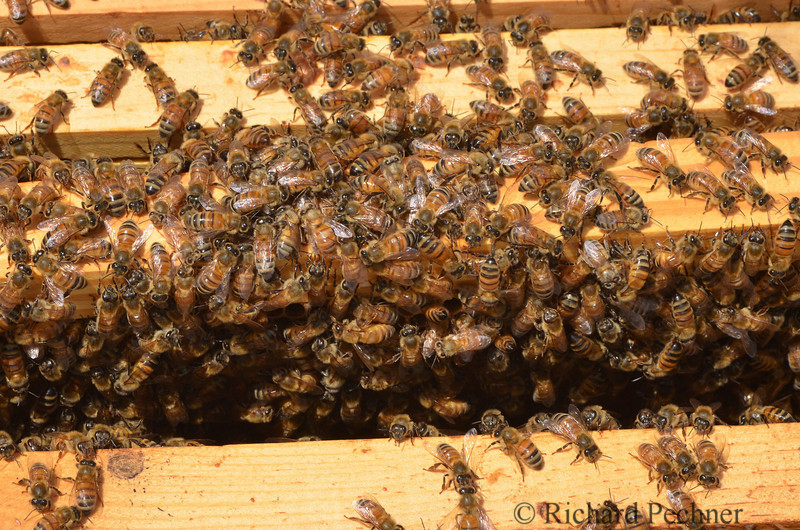 With the top removed from the hive, the bees are all over the edge of the frames and need to be gently moved off the edges before the frame can be lifted out.