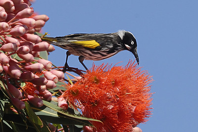 _MCG0064 new holland honey eater