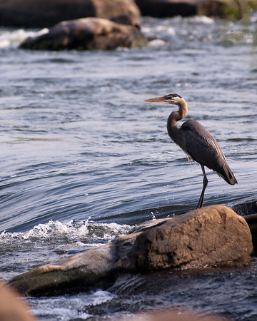 Blue Heron wading in river
