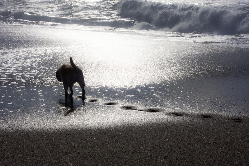 Dog Taking Walk on Beach