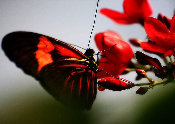 Wings of Red