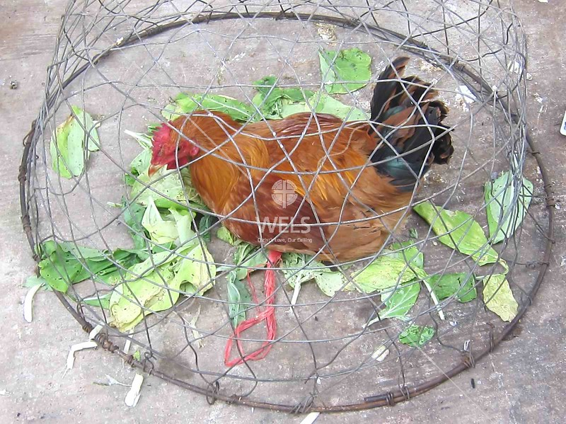 Tethered chicken under basket, Wenling, China by kstellick