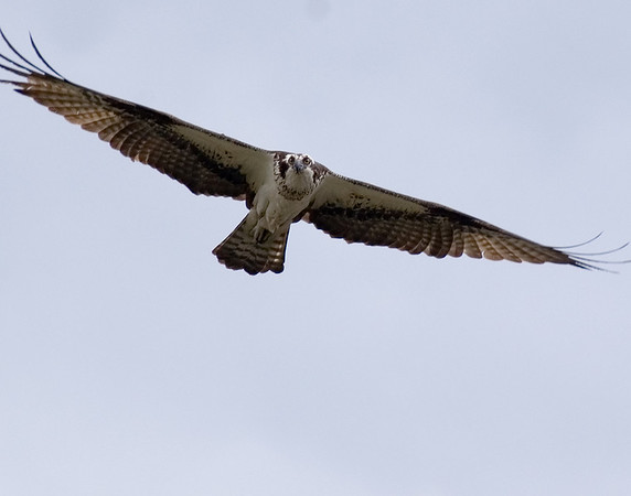 Photo of Osprey in flight