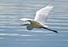 White Egret in flight