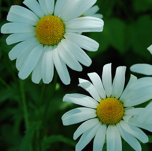 Daisies from old perennial garden