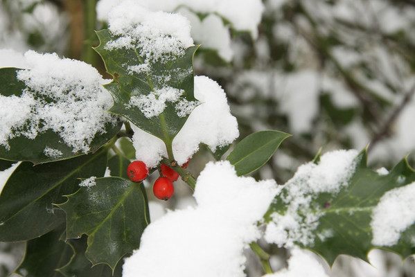 Holly in Snow