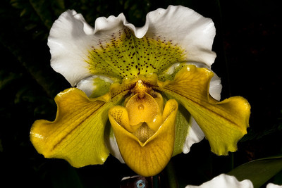 Paphiopedilum Sparkling Meadows - 'US Botanic Garden' HCC/AO - Orchid Family (Orchidaceae)