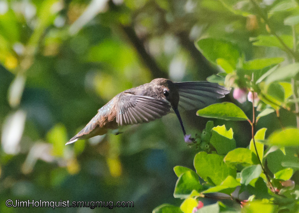 Rufous Hummingbird - hovering over a flower near Olympia, Wa