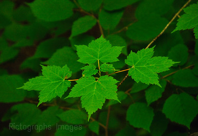 Bright Green Maple Leaves