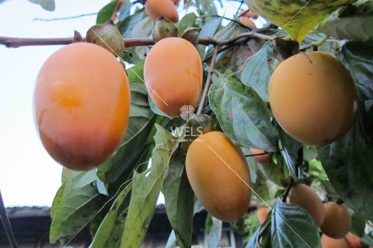 Persimmon in Wenling, China by kstellick