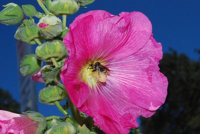 Hollyhock & Bee