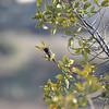 Palo Alto Baylands - Hummingbird