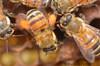 full pollen sacks
