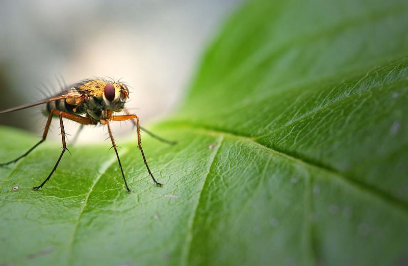 Flue på roseblad (© Ragnar Våga Pedersen)