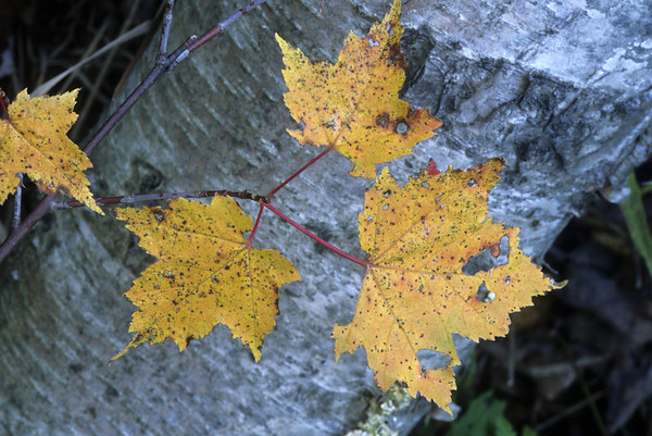 Fall color, Hiawatha National Forest