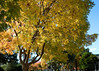 Autumn leaves in the park.<br /> Fremont Park, Santa Clara, CA<br /> November 24, 2009