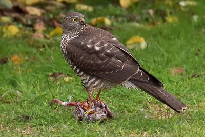 Immature Brown Goshawk sighted in domestic backyard Belmont Victoria Australia - obviously caught prey locally - thanks to Barry Lingham of Geelong Field Naturalists Club for the identification