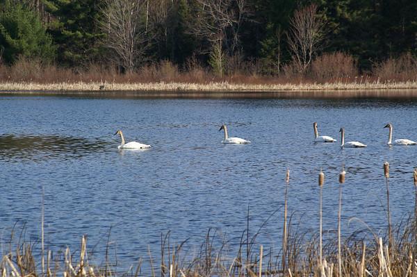 Trumpter Swans,<br /> Doe Lake, Hiawatha National Forest<br /> Michigan