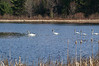 Trumpter Swans,<br /> Doe Lake, Hiawatha National Forest<br /> Michigan