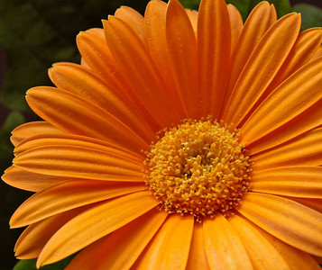 Orange Gerbera Daisy