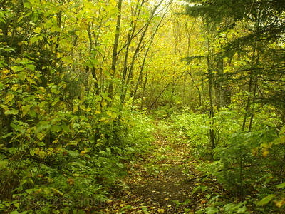 Wooded Path Boreal Forest
