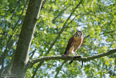 Perched Juvinile Falcon