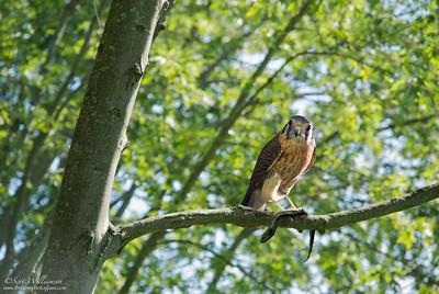 Perched Juvinile Falcon