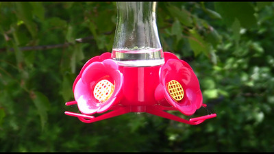 female Ruby throat hummingbird