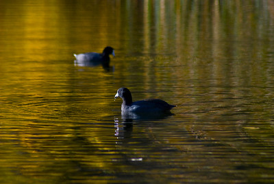 Coots on Golden Pond