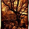 creeping oak copy