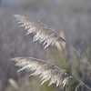Palo Alto Baylands - Pampas Grass