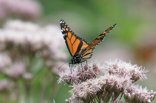 Monarch Butterfly<br /> Pictured Rocks National Lakeshore