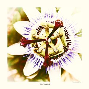 Becky's Passiflora  (Vin9)