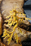 Leafy Sea Dragon. Monterey, CA (7 Aug 2009)