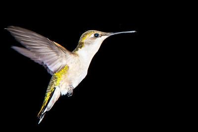 Humming Bird-0752