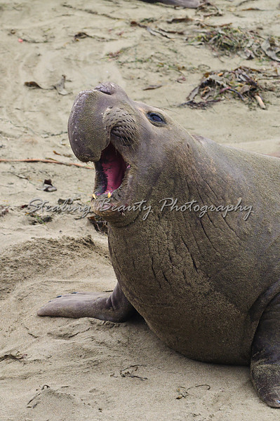 Elephant Seal colony at Piedras Blancas