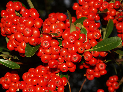 Pyracantha, Oly E500, ZD14-45mm