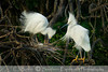 Snowy Egret pair and egg, shot at the High Island Rookery, Bolivar Island, Galveston, Tx.