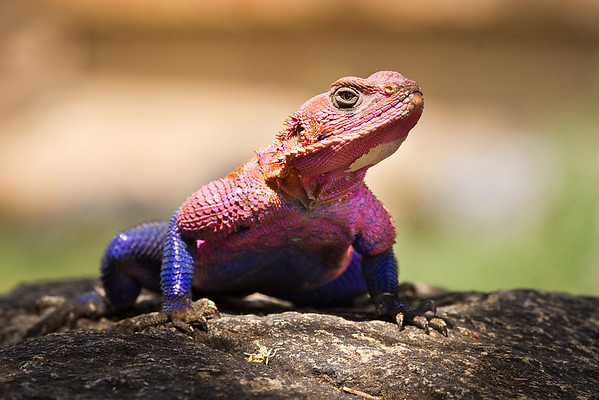 A large agama lizard basks in a spot of sunshine on the rocks.