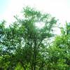 Sun Through Trees 2