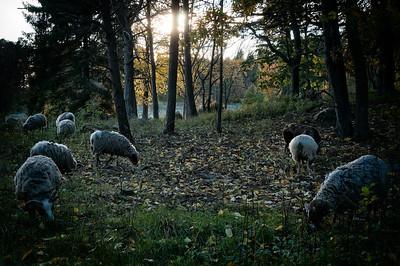 Betande får