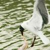 Laughing Gull fishing for something (gross)