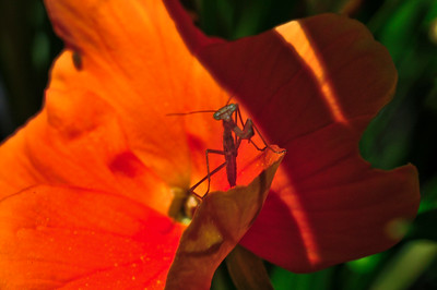 More like a Disney character, this minutes old praying mantis waits patiently on a pansey petal eyeing the cameraman