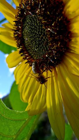 Bie i solsikke