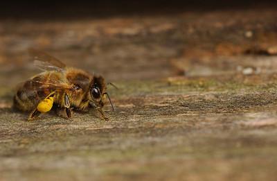 Bie ved bikube (© Ragnar Våga Pedersen)