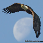 American Bald Eagle - Eagle flying over the moon near Olympia, Wa