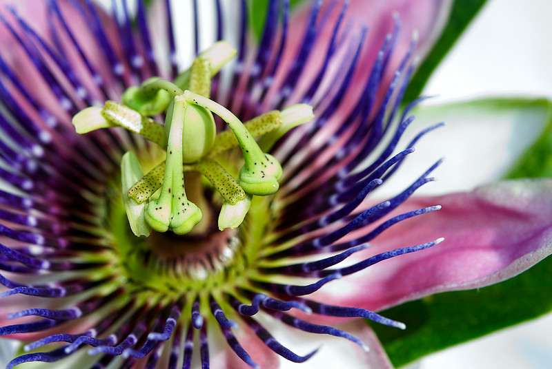 Passion Flower in backyard.  May 2009