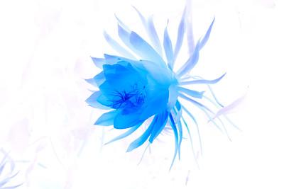 Night Blooming Cereus Blue #320100820-20100820_MG_0011