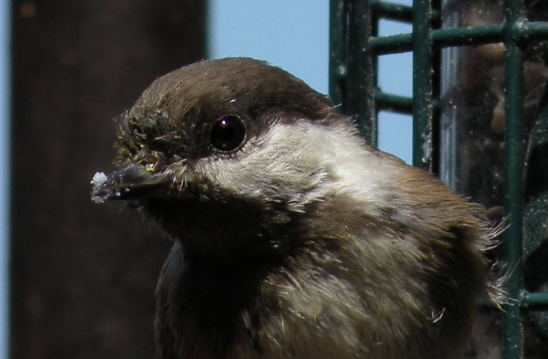 Chickadee, Chestnut-backed -photo 1