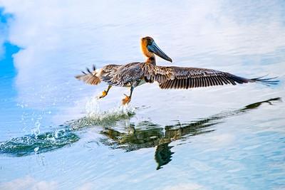 Pelican - Stuart, FL